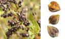 grano-saraceno-cereale-digeribile-small
